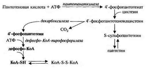 Витамин В5 биосинтез у человека