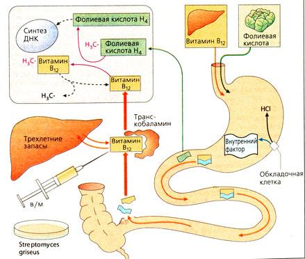 Витамин В12 цианокобаламин и фолиевая кислота биосинтез у человека