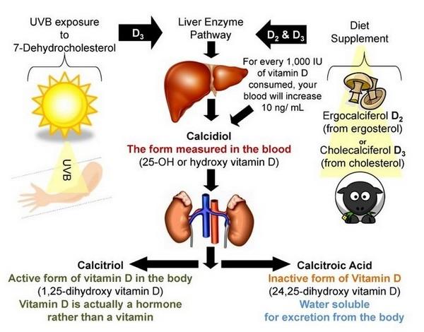 Витамин Д кальциферол синтез